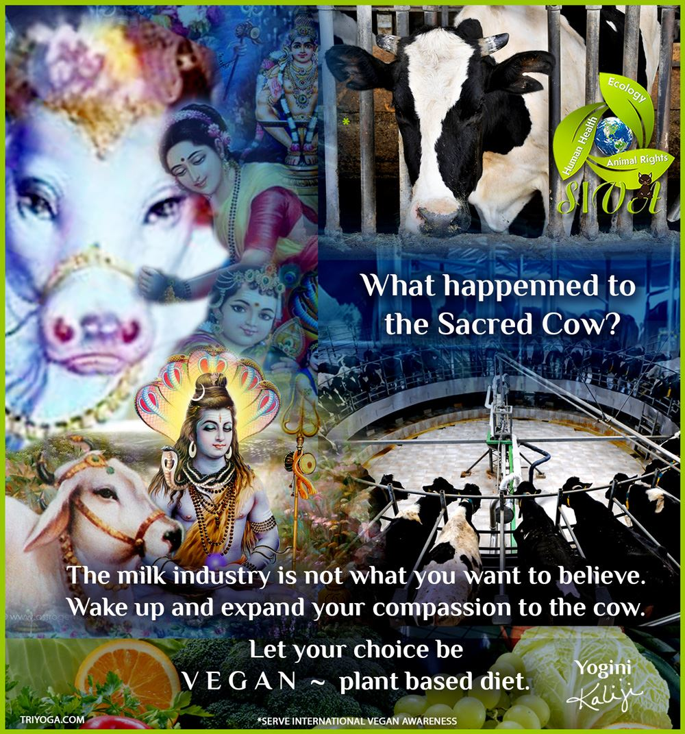 FB_SIVA_Cow_sacred