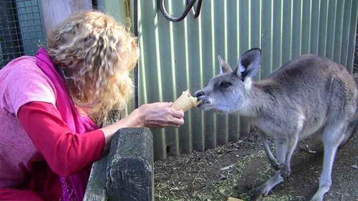 Kaliji feeding kengaroo