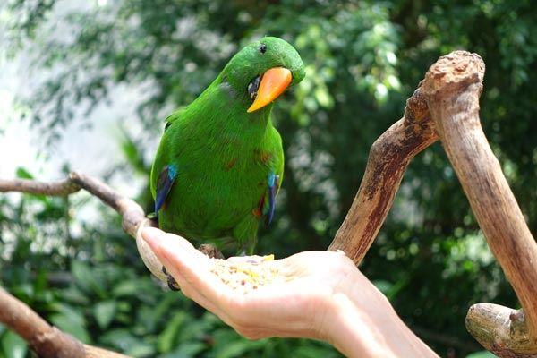 Kaliji feeding parrot