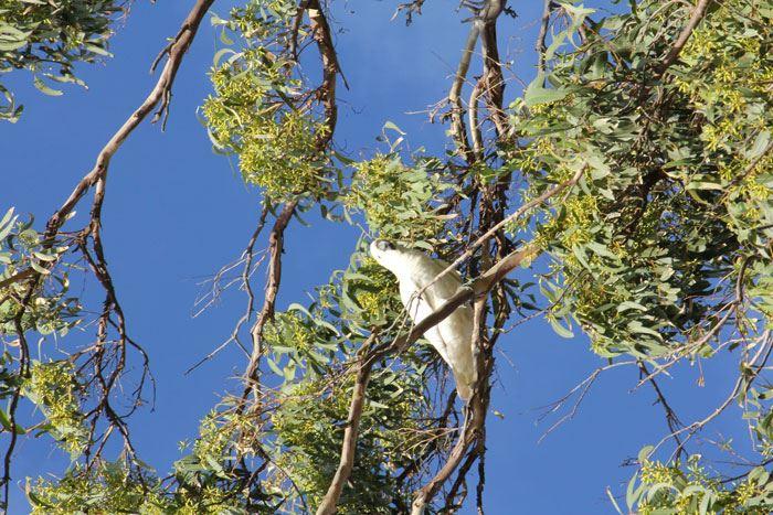 Parrot_Sydney1