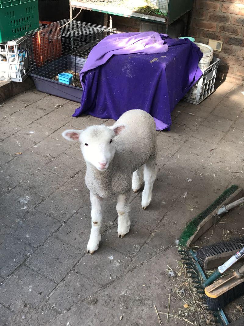 Wala_Lamb